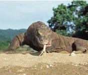 Komodo Indonesia