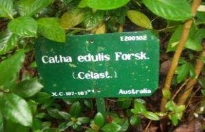catha edulis
